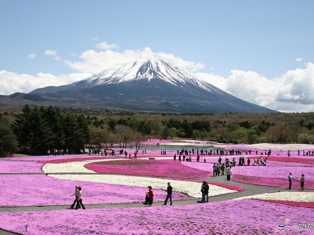 New Shibazakura Japanese Flower Festival Tour Packages!