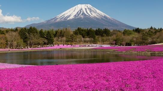 Shibazakura Flower Festival Tour