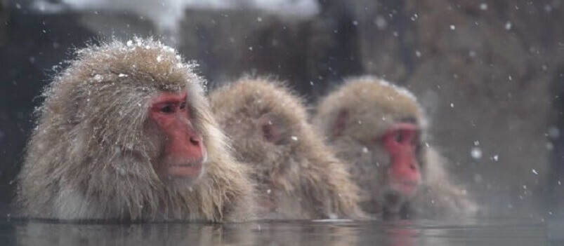 Winter Discovery | Snow Monkey, Anime & Hiroshima