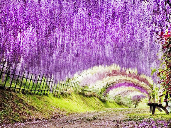 Wisteria Flower Tunnel | Fukuoka
