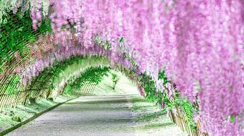 Essence of Spring | Kawachi Wisteria & Hiroshima