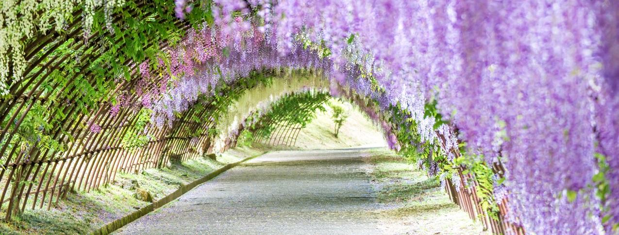 Kawachi Fuji Wisteria Garden