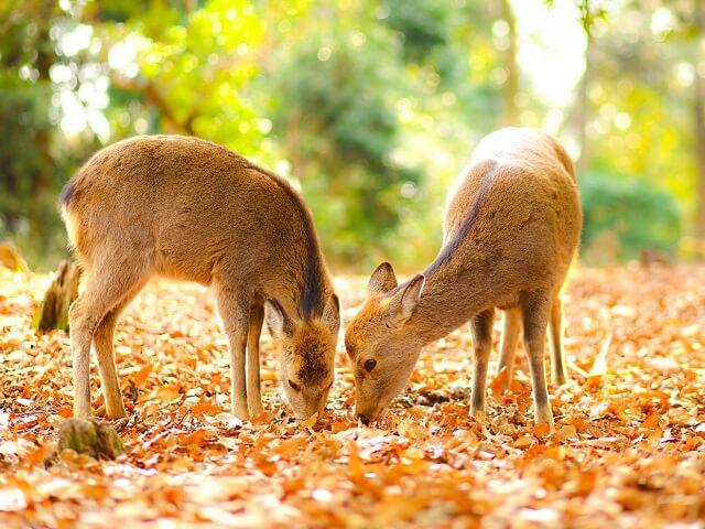 The Famous Deer of Nara
