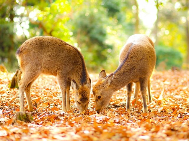 Japan's Deer