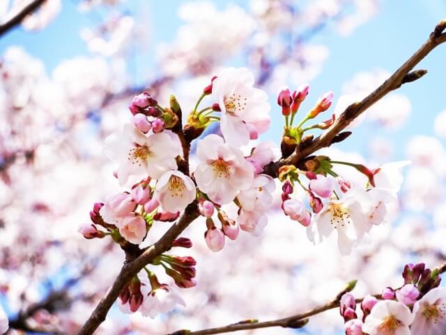Sakura Forecast Page