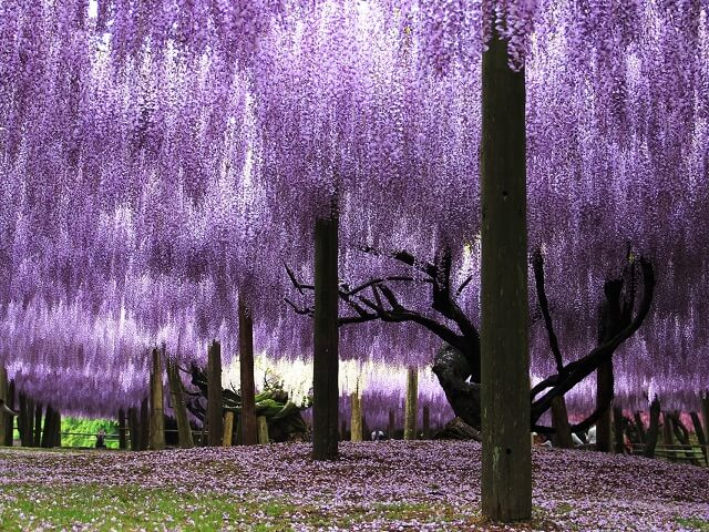 Japanese Flowers   Nature Vacations