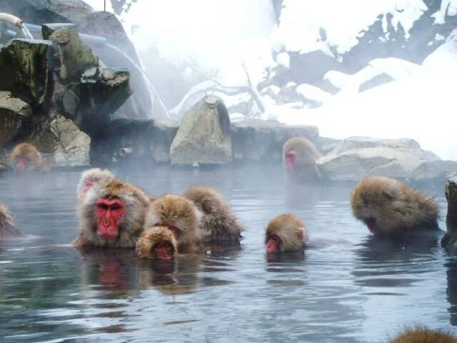 Home to the Snow Monkey | Jigokudani