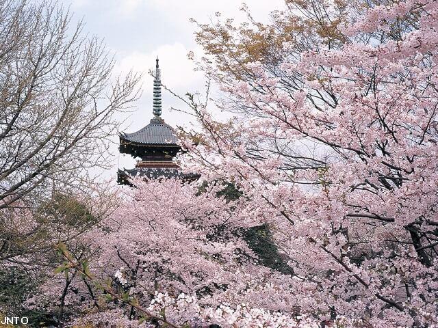 Enjoy the Scenic Cherry Blossoms
