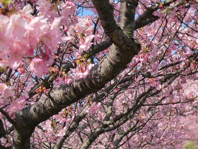 View the Beautiful Sakura | Shizuoka