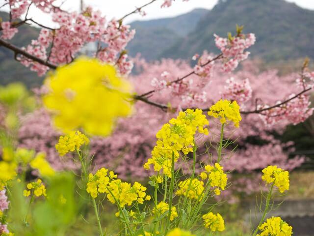 Kawazu Cherry Blossom Festival