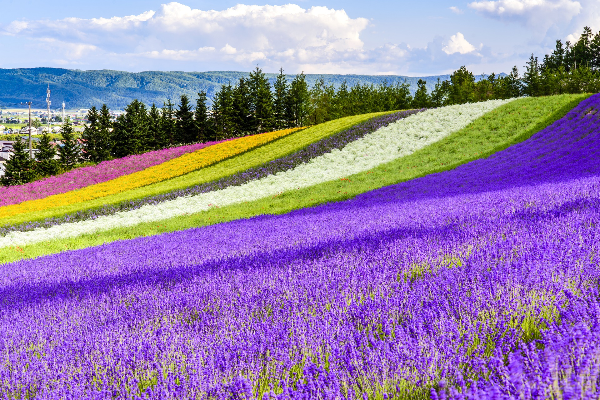 Rainbow Field of Lavenders, Poppies, and French Marigolds